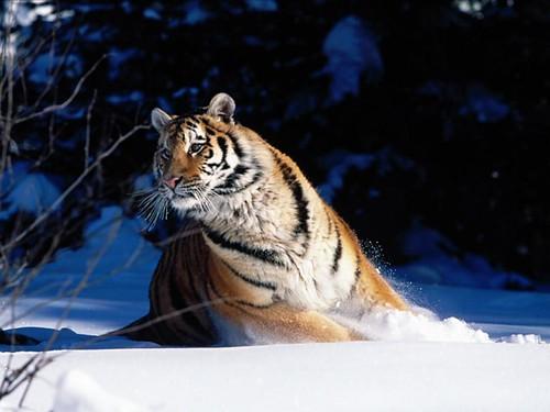 Tigre17
