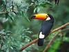 棲息在巴西林區中的巨嘴鳥。 (peter kc lee) Tags: 範例 野生生物 橫印範例