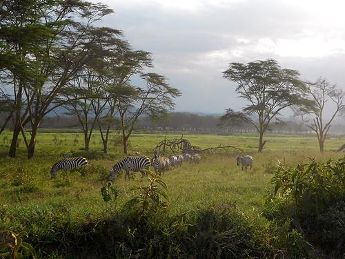 zebras Nakuru Park