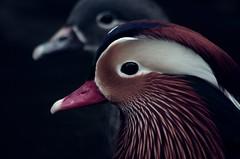 *canard mandarin (h_desneiges) Tags: bird japan zoo pentax sigma kobe mandarinduck japon oiseau zoologique canardmandarin
