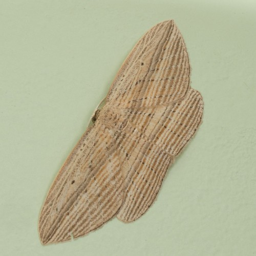 cabbage tree moth in our house in the evening