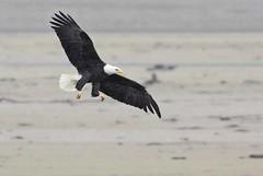 Bald Eagle (www.lirongertsman.com) Tags: baldeagle haliaeetusleucocephalus lironsnaturephotographyphotos