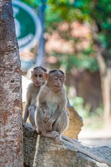 Macaque - My sleepy buddy (HenryHutter) Tags: life park wild india monkey sleep duo bangalore natuur national karnataka macaque bennerghata