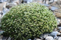 Minuartia austromontana (Todd Boland) Tags: flowers sandwort alpines caryophyllaceae minuartia