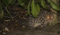 lower Kinabatangan River, eastern Sabah, (marcwiz2012) Tags: night river asia wildlife leopard jungle malaysia borneo sabah kinabatangan clouded