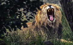 I Am the King! _0899 (hkoons) Tags: wild animal animals cat mexico zoo drive feline king wildlife lion drivethru creature puebla beasts drivethrough attraction africansafari zoological pantheraleo kingofthejungle africam stateofpuebla