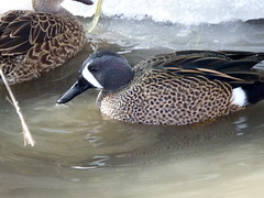 Blue-winged Teal (fkalltheway) Tags: bird duck teal wetlands bluewingedteal tracyaviary fkalltheway