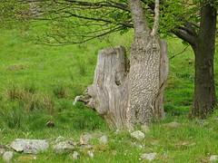 Woodhead (RoystonVasey) Tags: lake tree eye face canon mouth head district powershot cumbria stump hs cartmel sx260 ellerside
