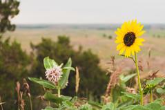 Another Sunflower (wenzday01) Tags: park travel flower nature southdakota landscape nationalpark nikon interior sd sunflower badlands nikkor badlandsnationalpark d90 nikond90 18105mmf3556gedafsvrdx