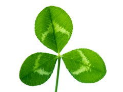 Happy Saint Patrick's Day! (jciv) Tags: desktop wallpaper irish macro green clover shamrock stpatricksday saintpatricksday file:name=dsc09927