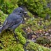 South Island Bush Robin-Toutouwai