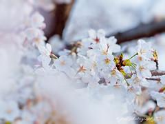 () Tags: park travel pink flowers trees light sky white plant flower macro tree castle nature japan garden cherry spring blossom bokeh blossoms taiwan sigma olympus apo  cherryblossom  sakura cherryblossoms    f28  cherrytree e30 cherrytrees    cherryblossomfestival     150mm sigma150mmmacro  sigma150mmf28  150mmf28 macroquot quotsigma sigmamacro150mmf28 sigmaapomacro150mmf28