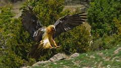 Quebrantahuesos (I. Alberdi Ezpeleta) Tags: quebrantahuesos bartgeier lammergeier gypaetusbarbatus gypatebarbu quebraossos trencals avvoltoiobarbuto ugatz quebraso