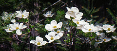 First Bloom (Images by Doug Jones) Tags: california trees lake mountains flower water forest river spring butte hike bloom dogwood sierranevada yubariver sierracity sierrabutte wildplumb