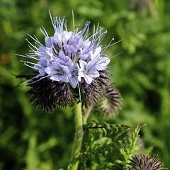 Bijenbloem - Phacelia tanacetifolia (Wontolla65) Tags: flowers bloemen boraginaceae