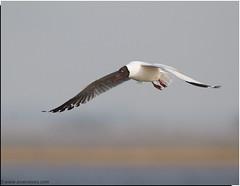 Brown Headed Gull (Aravind Venkatraman) Tags: brown gull headed brownheadedgull chroicocephalus chroicocephalusbrunnicephalus brunnicephalus
