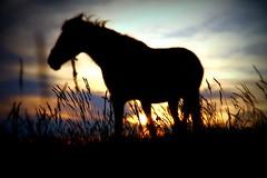 I am grass (Cristian tefnescu) Tags: sunset horse blur grass cheval sonnenuntergang cal gras dmmerung pferd iarba fav100 amurg fav150 fav175