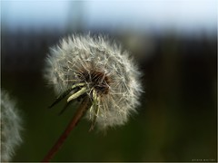 Pusteblume - Dandelion (p h o t o . w o r l d s) Tags: nature spring fuji bokeh natur dandelion frhling lwenzahn pusteblume zenitarm2s s5pro photoworlds