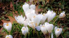 White Crocus (ladyinpurple) Tags: white crocus cbg mrcontrast
