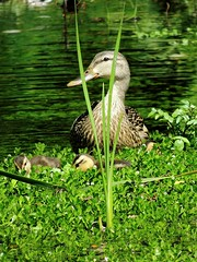 You can't hide anything from Mom--somehow she manages to see everything.... (all one thing (perpetually behind ... : }) Tags: bird nature children duck mother ducklings mallard mothersday happymothersday youcanthideanythingfrommom