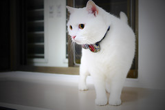 There is my viewing deck. (吳牛奶) Tags: cat 寵物 貓 爪子 白貓 mixcat whiltcat