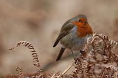 Robin (Chris*Bolton) Tags: ireland bird nature robin birds robins glendalough perch ferns wicklow avian