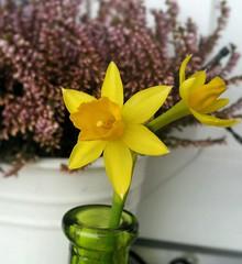 Narzissen auf dem Balkon mit Heidekraut (eagle1effi) Tags: flower yellow balcony balkon samsung gelb galaxy daffodil sfm daffs narzisse osterglocke heidekraut samsunggalaxys5 galaxys5 galaxydevine