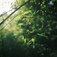 (photoCKD) Tags: sunlight green 120 6x6 mediumformat square december bokeh taiwan bamboo taipei    2014  fujichromevelvia50 hasselblad503cx  carlzeissplanartf2880mm