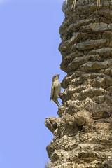 _MG_4226 (AsanF.) Tags: aves sparrow pajaros 7d canon100400 gorrion eos7d