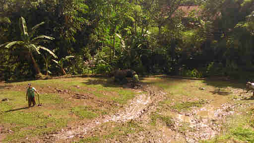 Membajak sawah di desa Ciapus Bogor