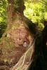 huge tree (xvoiceofsilencex) Tags: greatoceanroad hiding hugetree