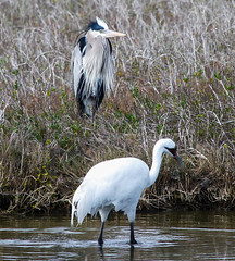 Not everyone finds Whooping Cranes all that interesting. (rsheath76) Tags: birds coast texas endangered greatblueheron whoopingcrane