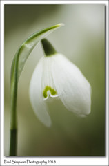 Snowdrop side view (Paul Simpson Photography) Tags: flowers macro green nature spring snowdrops naturalworld galanthus whiteflowers flowery photosof imageof normanbypark photoof imagesof sonyphotography sonya77 paulsimpsonphotography february2015