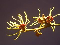 Winterzaubernuss (Jrg Paul Kaspari) Tags: winter flower yellow star gelb stern blte japonica trier februar hamamelis gelbe zaubernuss 2015 winterstern hamamelisjaponica petalen winterblher winterzaubernuss