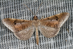 Hedylidae: Macrosoma nigrimacula (K. Zyskowski and Y. Bereshpolova) Tags: brazil amazonas yavari javari palmari hedylidae macrosoma nigrimacula