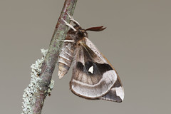 Aglia tau melaina ♂ Tau Emperor (Roger Wasley) Tags: moths melaina europen agliatau tauemperormacro