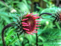 Tender and Fresh (clarkcg photography) Tags: new flower spring echinacea fresh petal tender