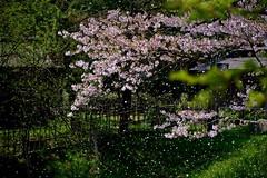 blizzard of falling cherry blossoms (tez-guitar) Tags: park flower cherry spring pentax blossoms bloom cherryblossom sakura pentaxart