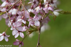 Fading (Katy Wrathall) Tags: england garden cherry spring blossom may eastyorkshire 2016 eastriding