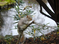 Londres cureuil (Romain & Claire) Tags: london squirrel jardin londres parc cureuil