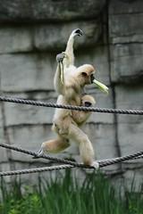 Balance (citizen for boysenberry jam) Tags: wild animals zoo texas waco waza gibbon aza cameronparkzoo whitehandedgibbon