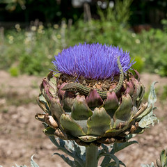 Formentera (Eivissa) Tags: flower formentera lizzard