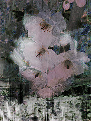 Cherry Blossom Treatment (Tim Noonan) Tags: wow cherry spring blossom