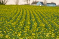 Turning Yellow (Infomastern) Tags: field raps canola rapeseed geolocation flt geocity camera:make=canon exif:make=canon geocountry geostate exif:lens=efs18200mmf3556is exif:aperture=56 exif:isospeed=1000 exif:focallength=187mm camera:model=canoneos760d exif:model=canoneos760d