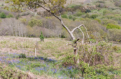 Warren Glen, Hastings Country Park (ghostwheel_in_shadow) Tags: wild england flower sussex flora europe unitedkingdom hastings bluebell eastsussex hastingscountrypark warrenglen englandandwales