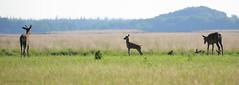 NP de Hoge Veluwe (JGOM) Tags: park nature netherlands outdoor wildlife nederland deer national gelderland hogeveluwe herten edelhert npdehogeveluwe