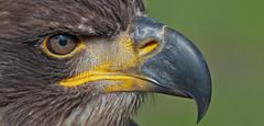 Young bald eagle (pe_ha45) Tags: baldeagle haliaeetusleucocephalus weiskopfseeadler pyarguetteblanche