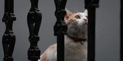 Milo (Daveybot) Tags: cats stairs cat grey stair milo gray handrail ballustrade whiteandgingercats gingerandwhitecats