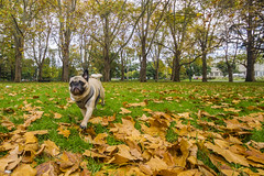 Bobby at Carlton Gardens (Kokkai Ng) Tags: park autumn dog leaves garden leaf pug australia melbourne running bobby carltongardens