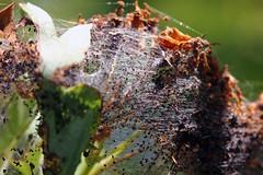 Gespinst (02) (Rdiger Stehn) Tags: germany deutschland tiere europa natur pflanze pflanzen lepidoptera makro insekt baum nahaufnahme insekten schleswigholstein schmetterlinge nahlinse 2000s norddeutschland 2016 mitteleuropa insecta motte zweig kokon yponomeutidae gespinst gespinstmotten motten altenholzstift altenholz yponomeutoidea 2000er glossata canoneos550d knospenmotten
